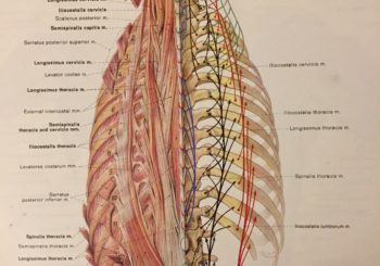 THE LOW BACK AND THE ERECTOR SPINAE